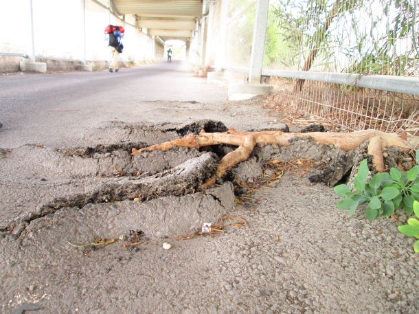 A tree sprouts through the unmaintained concrete of the Israeli-controlled Erez border crossing.—Photo by Andy Beale