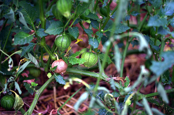 Tomatillos—Photo by Elisa Phillips